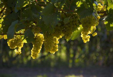 grapes-small