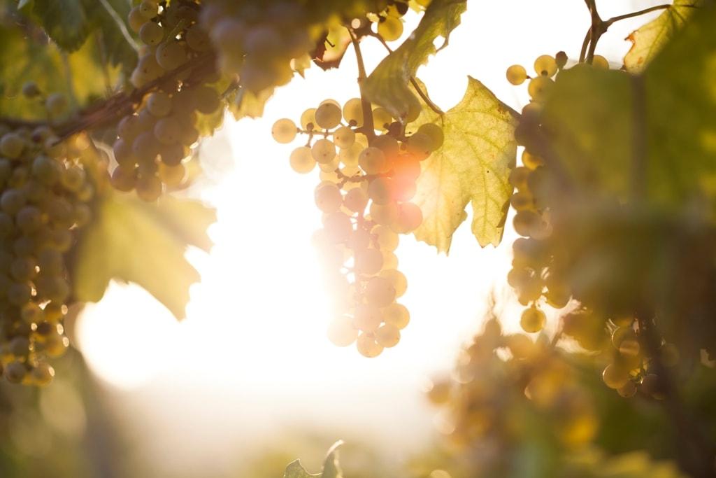 Biologische druif biologische wijn