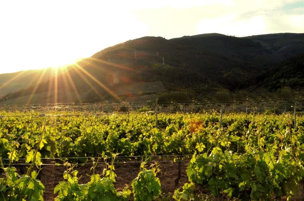 wijnveld biologische druif