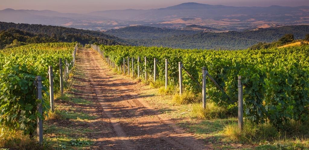 Pinot grigio wijngaard