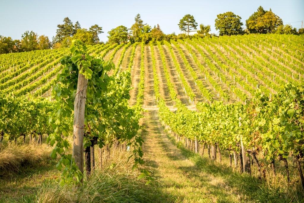 Muscat druif wijnveld