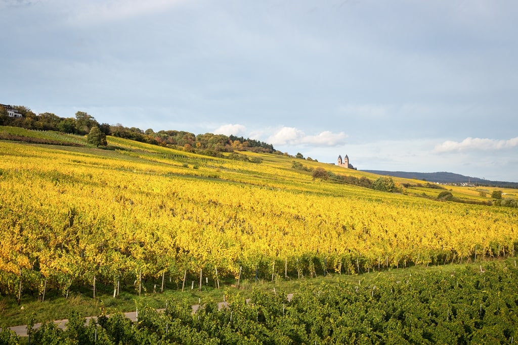 Riesling wijngaarde