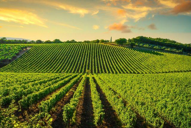 Wijngaarde in Chianti