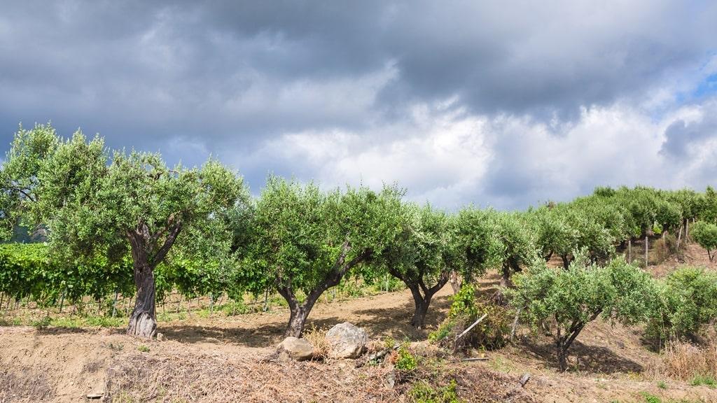Nero d'Avola vineyard with olive trees