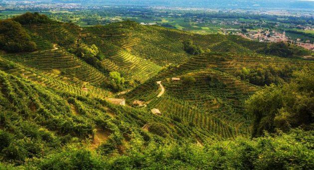 Prosecco wijngaarde in treviso