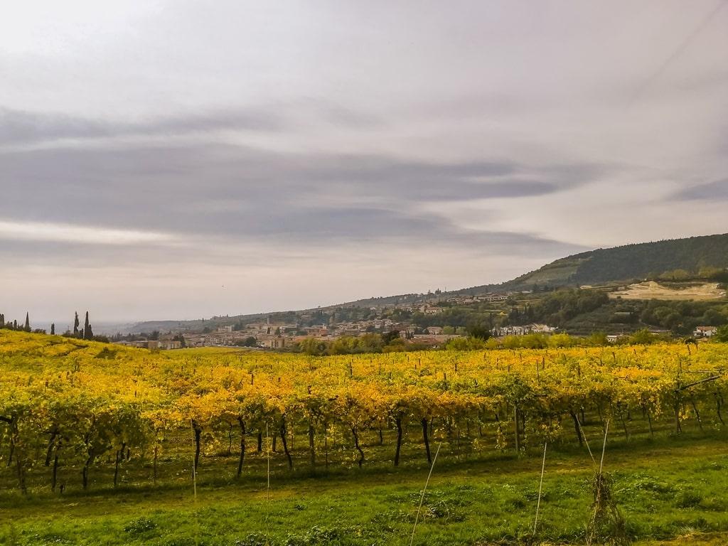 Ripasso wijngaarde