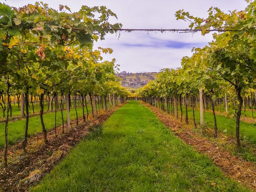 Vers geoogste Amarone druiven