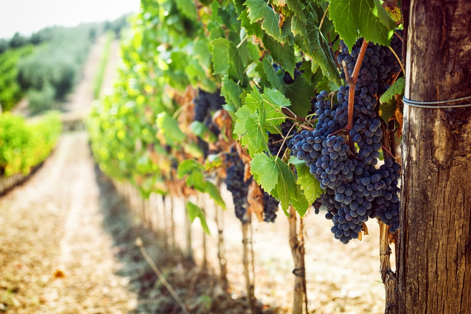 Terroir van italiaanse rode druif